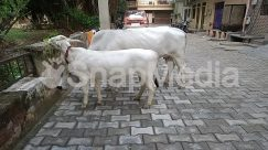 Animal, Apparel, Bicycle, Bike, Building, Bull, Cattle, City, Clothing, Cobblestone, Cow, Dairy Cow, Deer, Flagstone, Goat, Mammal, Mountain Goat, Ox, Path, Pavement, Road, Shorts, Sidewalk, Slate, Street, Town, Transportation, Urban, Vehicle, Walkway, Wildlife