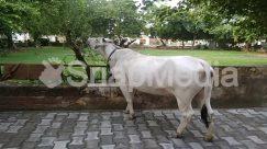 Animal, Arbour, Bench, Bull, Cattle, Cow, Flagstone, Furniture, Garden, Horse, Mammal, Outdoors, Ox, Path, Pavement, Sidewalk, Walkway, Wildlife
