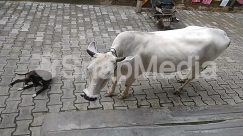 Animal, Bird, Bull, Canine, Cat, Cattle, Cow, Dairy Cow, Dog, Flagstone, Goat, Horse, Human, Longhorn, Mammal, Ox, Path, Pavement, Person, Pet, Sidewalk, Slate, Transportation, Vehicle, Walkway, Wildlife