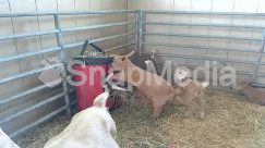 Agriculture, Alley, Alleyway, Animal, Antelope, Apparel, Backyard, Beverage, Bird, Building, Bull, Calf, Canine, Cat, Cattle, Chair, Chicken, City, Clothing, Countryside, Cow, Den, Dog, Drink, Face, Farm, Female, Fence, Field, Fowl, Furniture, Goat, Grass, Hay, Horse, Housing, Jar, Mammal, Mountain Goat, Nature