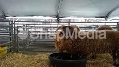 Agriculture, Animal, Bison, Buffalo, Building, Bull, Bullfighter, Cattle, Countryside, Cow, Farm, Field, Goat, Hay, Human, Longhorn, Mammal, Nature, Outdoors, Person, Rodeo, Rural, Sheep, Shelter, Straw, Wildlife, Wool, Zoo