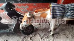 Advertisement, Animal, Apparel, Art, Cattle, Clothing, Donkey, Gravel, Land, Painting, Sand, Scooter