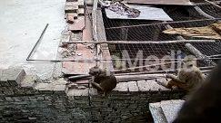 Animal, Ape, monkey, Brick, Building, outdoors, Slum, Wall, Wildlife, Wood, Zoo