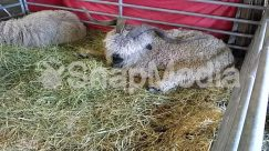 Animal, Asleep, Bunny, Countryside, Goat, Grass, Hay, Mammal, Nature, Outdoors, Pig, Plant, Rabbit, Rodent, Sheep, Sleeping, Straw, Wildlife