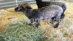 Alpaca, Animal, Llama, Mammal, Pig, Sheep