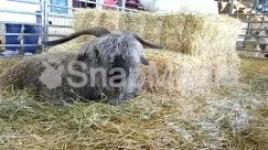 Animal, Bull, Cattle, Countryside, Goat, Hay, Human, Longhorn, Mammal, Nature, Outdoors, Person, Plant, Rodeo, Sheep, Straw