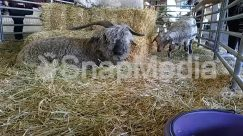 Animal, Bird, Building, Bull, Cattle, Countryside, Cow, Goat, Hay, Herd, Horse, Human, Mammal, Nature, Outdoors, Person, Rural, Sheep, Shelter, Straw
