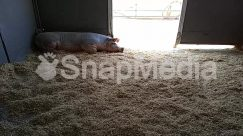 Animal, Building, Hog, Housing, Mammal, Pig, Rug
