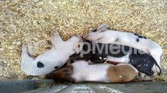 Animal, Bird, Boar, Cat, Cattle, Chicken, Fowl, Hog, Mammal, Pet, Pig, Poultry, Soil