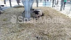 Animal, Building, Cattle, Countryside, Cow, Farm, Furniture, Grass, Hay, Hog, Human, Mammal, Nature, Outdoors, Person, Pig, Plant, Rural, Shelter, Straw, Water, Zoo
