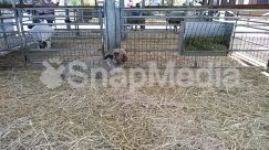 Agriculture, Animal, Building, Canine, Cat, Countryside, Den, Fence, Field, Grass, Hay, Human, Mammal, Nature, Outdoors, Person, Pet, Plant, Rural, Sheep, Shelter, Straw, Zoo