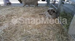 Animal, Building, Countryside, Den, Dog House, Farm, Field, Hay, Human, Jaguar, Leopard, Mammal, Nature, Outdoors, Panther, Person, Rural, Sheep, Shelter, Straw, Wildlife, Yard
