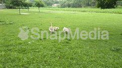 Animal, Backyard, Ball, Bird, Countryside, Emu, Farm, Field, Food, Football, Forest, Fowl, Goose, Grass, Grassland, Grazing, Green, Ground, Grove, Land, Landscape, Lawn
