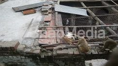 Animal, Baboon, Bird, Brick, Building, Cat, Chicken, Cougar, Demolition, Fowl, Human, Lemur, Lynx, Mammal, Monkey, Nature, Person, Pet, Poultry, Rock, Roof, Rubble, Slate, Slum, Urban, Vulture, Wildlife, Wood, Zoo