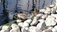 Animal, Anseriformes, Beak, Bird, Cormorant, Duck, Human, Lake, Land, Mallard, Nature, Outdoors, Partridge, Person, Quail, Ripple, River, Rock, Rubble, Sea Life, Shoreline, Teal, Water, Waterfowl, Waterfront