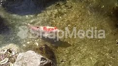 Animal, Aquatic, Carp, Coho, Fish, Food, Koi, Nature, Ocean, Outdoors, Pollution, Reef, Rock, Sea, Sea Life, Seafood, Shrimp, Skin, Water