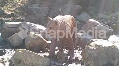 Animal, Arctic Fox, Bear, Brown Bear, Canine, Cattle, Cougar, Coyote, Fox, Human, Hunting, Kit Fox, Lion, Mammal, Nature, Outdoors, Person, Polar Bear, Red Wolf, Rock, Wilderness, Wildlife, Wolf, Zoo