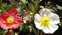 Agriculture, Anemone, Anther, Araceae, Arenaria, Asteraceae, Blossom, Building, Bush, Countryside, Dahlia, Field, Flower, Geranium, Hibiscus, Housing, Iris, Nature, Outdoors, Peony, Petal, Plant, Pollen, Poppy