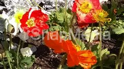 Anemone, Anther, Blossom, Carnation, Flower, Geranium, Gladiolus, Hibiscus, Leaf, Petal, Plant, Poppy, Rose
