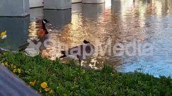 Waterfront,Waterfowl,Water,Mallard,Goose,Duck,Bird,duck