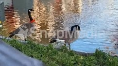 Waterfowl,Water,Pond,Person,Outdoors,Nature,Human,Goose,Bird,Anseriformes,Animal,duck