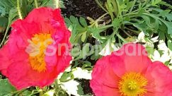 Anemone, Anther, Blossom, Carnation, Flower, Geranium, Hibiscus, Peony, Petal, Plant, Pollen, Poppy