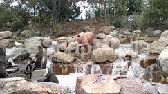 Animal, Bear, Brown Bear, Creek, Landscape, Mammal, Nature, Outdoors, Plant, Pond, River, Rock, Stream, Tree Stump, Water, Wilderness, Wildlife, Zoo