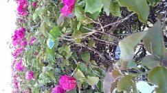 Flower,zzz,Blossom,Vine,Petal,Leaf,Ivy,Plant,Bush,bogavvilla,Vegetation