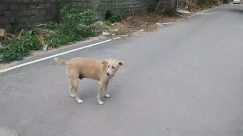 Animal, Canine, Dog, Mammal, Pet, Strap, Path, Labrador Retriever, Leash, Walkway, Clothing, Apparel, Vehicle, Transportation, Flagstone