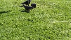 Plant, Grass, Lawn, Bird, Animal, Apparel, Clothing, Pigeon, Footwear, Dove, Agelaius, Blackbird, Waterfowl, Sports, Sport
