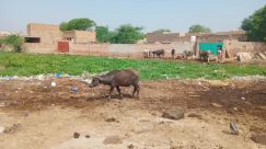 Urban, Building, Slum, Animal, Cattle, Cow, Mammal, Soil, Nature, Bull, Ground, Outdoors, Antelope, Wildlife, Person