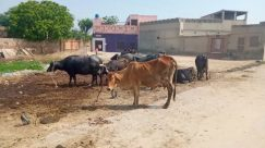 Cattle, Cow, Animal, Mammal, Bull, Ox, Person, Angus, Horse, Outdoors, Nature, Soil, Wildlife, Countryside, Buffalo