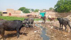 Animal, Cattle, Cow, Mammal, Urban, Building, Horse, Bull, Soil, Ox, Wildlife, Antelope, Slum, Outdoors