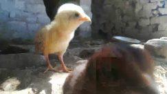 Animal, Bird, Fowl, Poultry, Chicken, Hen, Urban, Building, Art, Painting, Vulture, Mammal, Beak, Duck, Wildlife