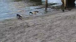Waterfowl, Duck, Mallard, Agelaius, Blackbird, Water, Goose, Outdoors, Nature, Mud, River, Beach, Sand, shore
