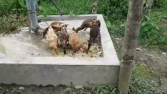 Poultry, Bird, Chicken, Fowl, Yard, Plant, Pottery, Vase, Potted Plant, Jar, Partridge, Vegetation, Planter, Beak, Chair