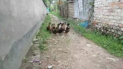 Road, Building, City, Urban, Town, Street, Bird, Chicken, Fowl, Poultry, Yard, Alleyway, Alley, Neighborhood, Zoo