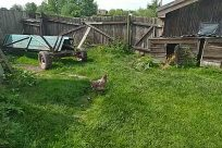Yard, Grass, Plant, Backyard, Housing, Building, Bird, Poultry, Fowl, Hen, Chicken, Countryside, Vegetation, Vehicle, Wood