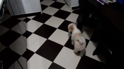 Floor, Flooring, Pet, Chess, Game, Canine, Dog, Poodle, Puppy, Cat, Furniture, Tile, Bird, Wood, Paper