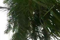 Plant, Vegetation, Tree, Arecaceae, Palm Tree, Land, Rainforest, Jungle, Conifer, Forest, Bamboo, Woodland, Green, Tropical, Grove