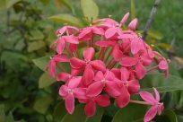 Blossom, Flower, Geranium, Plant, Petal, Acanthaceae, Leaf, Jar, Potted Plant, Pottery, Vase, Planter, santan flower