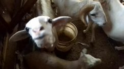 Cattle, Cow, Goat, Bird, Chicken, Poultry, Fowl, Pet, Canine, Dog, Wildlife, Antelope, Mountain Goat, Sheep, Urban