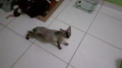 Flooring, Floor, Pet, Cat, Siamese, Abyssinian, Kitten, Wood, Manx, Rodent, Rat, Strap, Black Cat, Canine, Hardwood