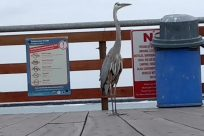 Bird, Stork, Crane Bird, Waterfowl, Seagull, Zoo, Spoke, Hydrant