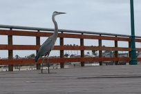 Bird, Waterfowl, Crane Bird, Ardeidae, Heron, Egret, Stork, Water, Dock, Pier, Port, Waterfront, Railing, Boardwalk, Bridge