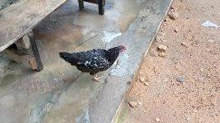 Bird, Fowl, Ground, Poultry, Beak, Soil, Chicken, Hen, Flagstone, Pigeon, Dove, Concrete, Sand, Waterfowl, Landscape