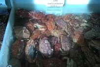 Seafood, Sea Life, Crab, King Crab, crabs in tank