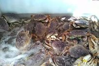 Seafood, Food, Crab, Sea Life, Invertebrate, King Crab, crabs in tank