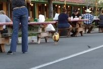 Bird, Fowl, Poultry, Chicken, Pants, Building, Hotel, Denim, Jeans, Furniture, Rooster, Cock Bird, Road, Bench, Resort