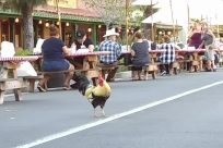 Bird, Fowl, Poultry, Chicken, Cock Bird, Rooster, Canine, Pet, Dog, People, Turkey Bird, Crowd, Furniture, Food, Shorts
